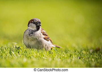 Single Male sparrow with sunflower seed in beak