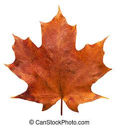 Single Maple Leaf 1