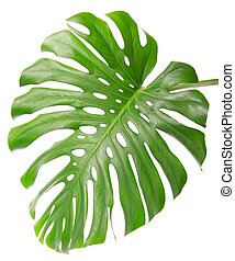 Single Monsteras leaf isolated on white