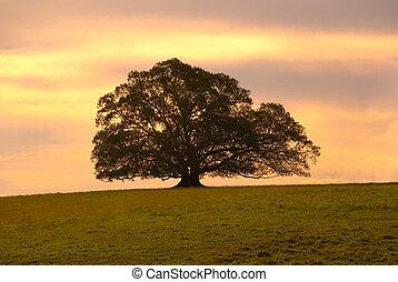 Solitary Moreton Bay Fig Tree at sunset,