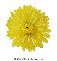 Single Mum - Single yellow mum head isolated on white