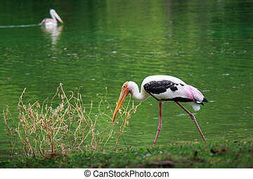 single of pelican catch fish from lake river. Pelican bird wallpaper , background