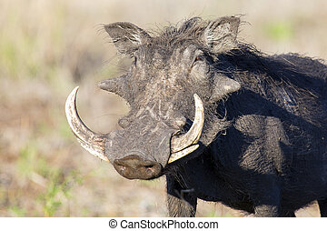 Single old Warthog with huge teeth portrait