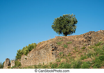 Single olive tree and blue sky