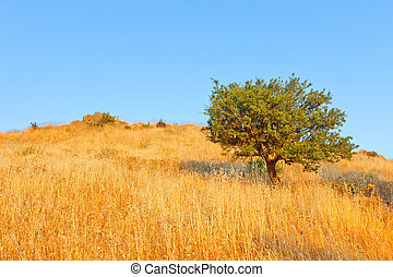 Single olive tree in meadow