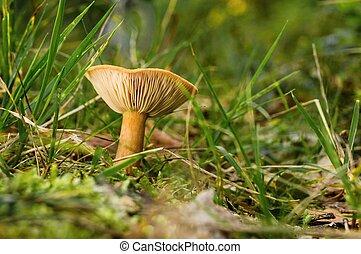 Single orange camelina mushroom grows in grass