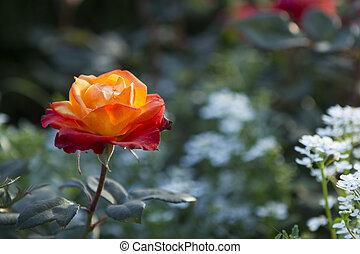 Single orange rose in a garden