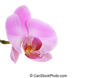 Single orchid isolated on white background
