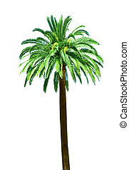 Single Palm tree - Single palm tree isolated on white...