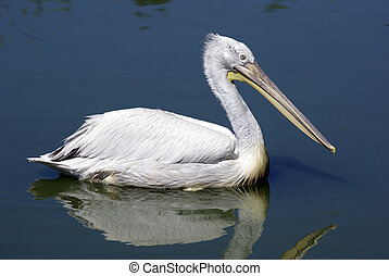 Single pelican is swimming in lake. Zoological garden.