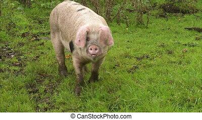 Single pig walking alone - A single pig walking alone on a...