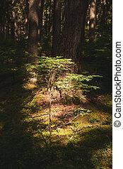 Single Pine Sapling Lit In Dark Forest
