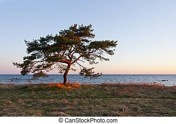 Single pine tree near sea