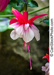 Single Pink and White Fuchsia Flower