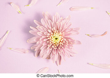 Single Pink chrysanthemum flower arrangement on pink background. Flat lay, top view. Floral background.