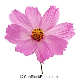 single pink flower of cosmos isolated on white background