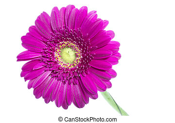 Single pink Gerbera flower on white background