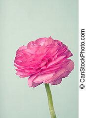 Single pink ranunculus on vintage blue background