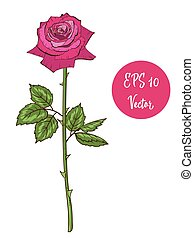 Single pink rose flower vector illustration, beautiful Valentine rose on long stem isolated on white background.