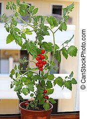 plant of tomatoes in the balcony of a house - single plant...