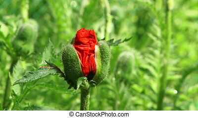 Single Poppy Bud Blossoming