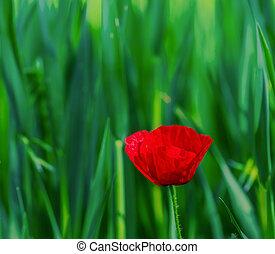 Single poppy flower in full bloom at sunrise