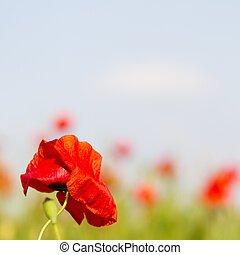 Single poppy flower