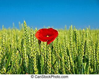 single poppy in a corn field