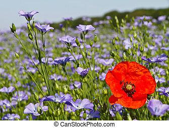 Single poppy in a field of blue linseed flowers - Single...