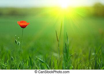 single poppy in sunlight - single poppy in fresh meadow with...