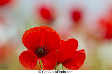 Single poppy isolated by shallow depth of field