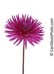 Single purple dahlia flower on White Background.