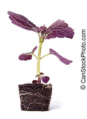 Single Purple Plant