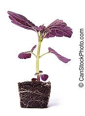 Single Purple Plant