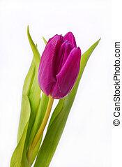 purple tulip isolated on white