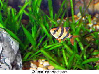Single quarium fish-Barbus. (Barbus pentazona) - Single ...
