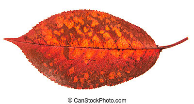 Single red autumn leaves isolated on white background