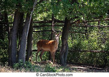 Single Red deer or Cervus elaphus outdoors on sunny day