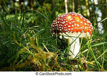 Single red poison mushroom grows in grass