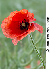 Single Red Poppy - A bright, red poppy stands in a ripening...