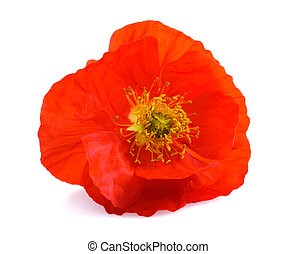 Single red poppy flower isolated on white background