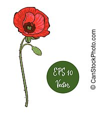Single red poppy flower vector illustration, beautiful red poppy on long stem isolated on white background.