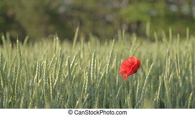 Single red poppy in green wheat fie