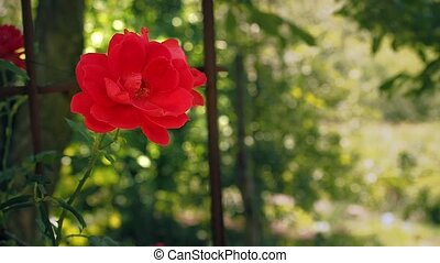 Single red rose against the background of green leaves. Red...