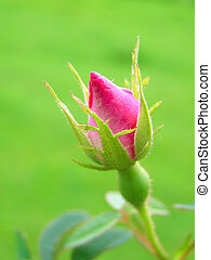 Single red rose bud