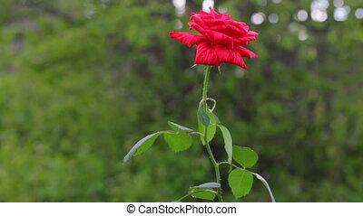 Single red rose growing in garden