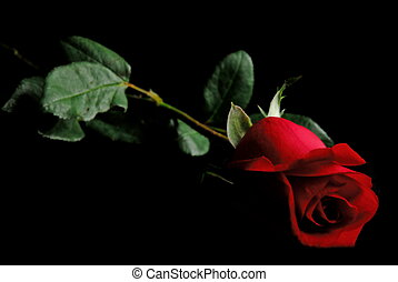 Red Rose - Single Red Rose on black background