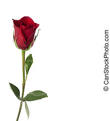 Perfect single red rose