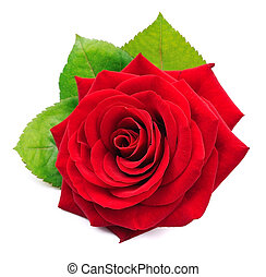 Single red rose with leaves