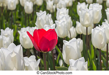 Single red tulip among many white tulips in Holland